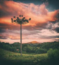 Araucaria Sky by Miguel-Santos