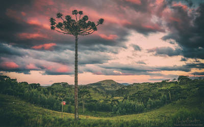 Araucaria in the Sky