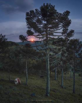 Araucaria Moonlight