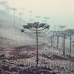 Winter Araucaria