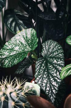 Begonia spec.