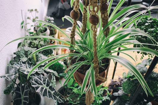 Urban Jungle feat. spider plant