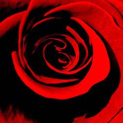 rose.. by qwertpangea