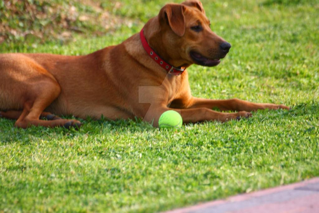 Black Walnut Dog Kennel Chilliwack