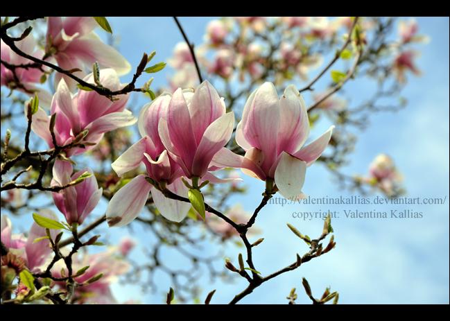 Magnolia by ValentinaKallias