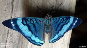 Butterfly in Amazon forest