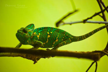 Sneaky Chameleon by moonbuggs