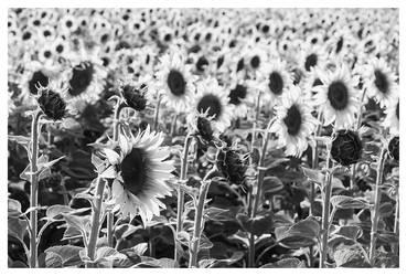 Sunflowers by joachim-hagen