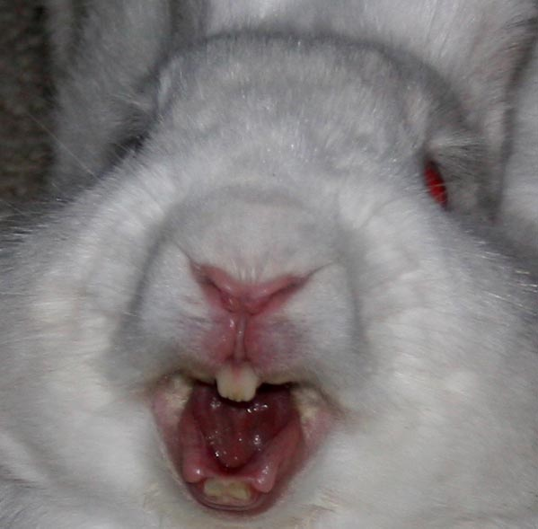 Кролик зубы картинки