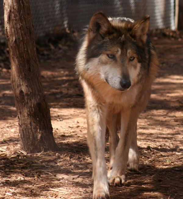 Wolf by DanidaeSkye