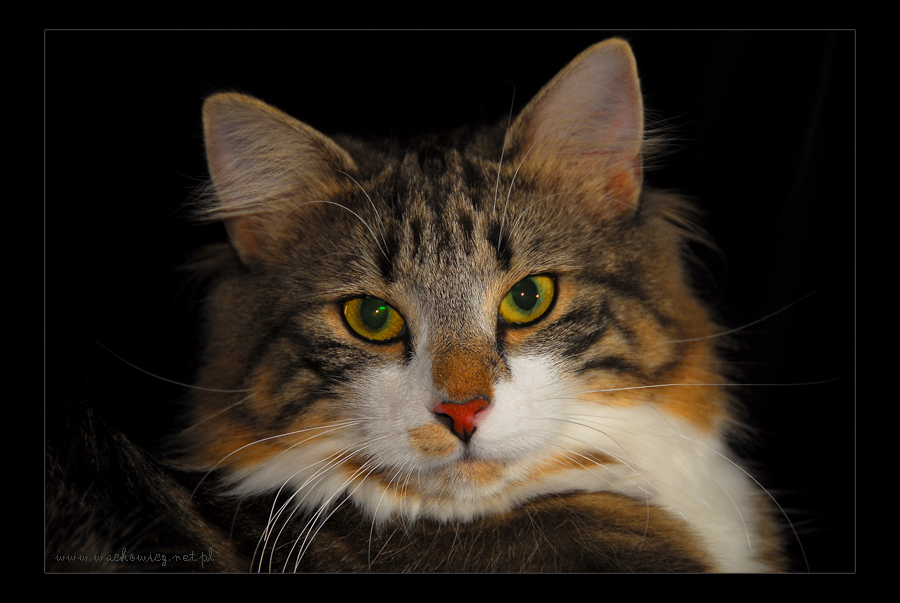 Norwegian Forest Cat5 by fiamen