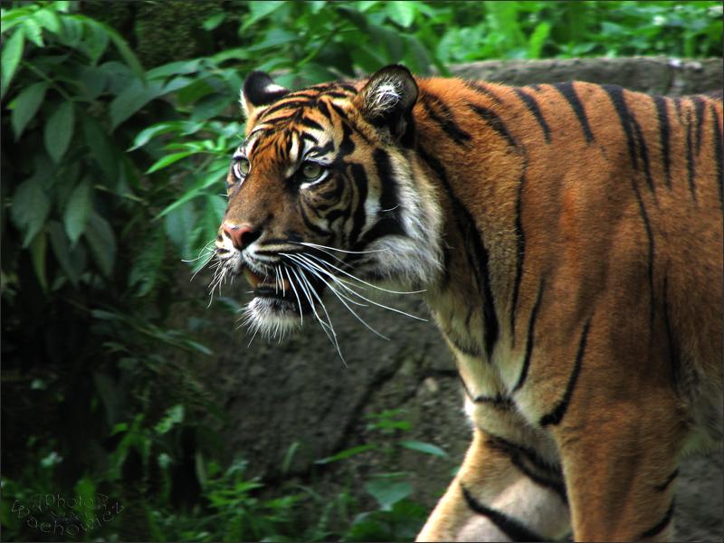 The Tiger by fiamen