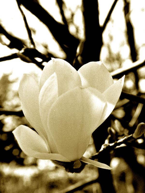 magnolia by tobiasz85