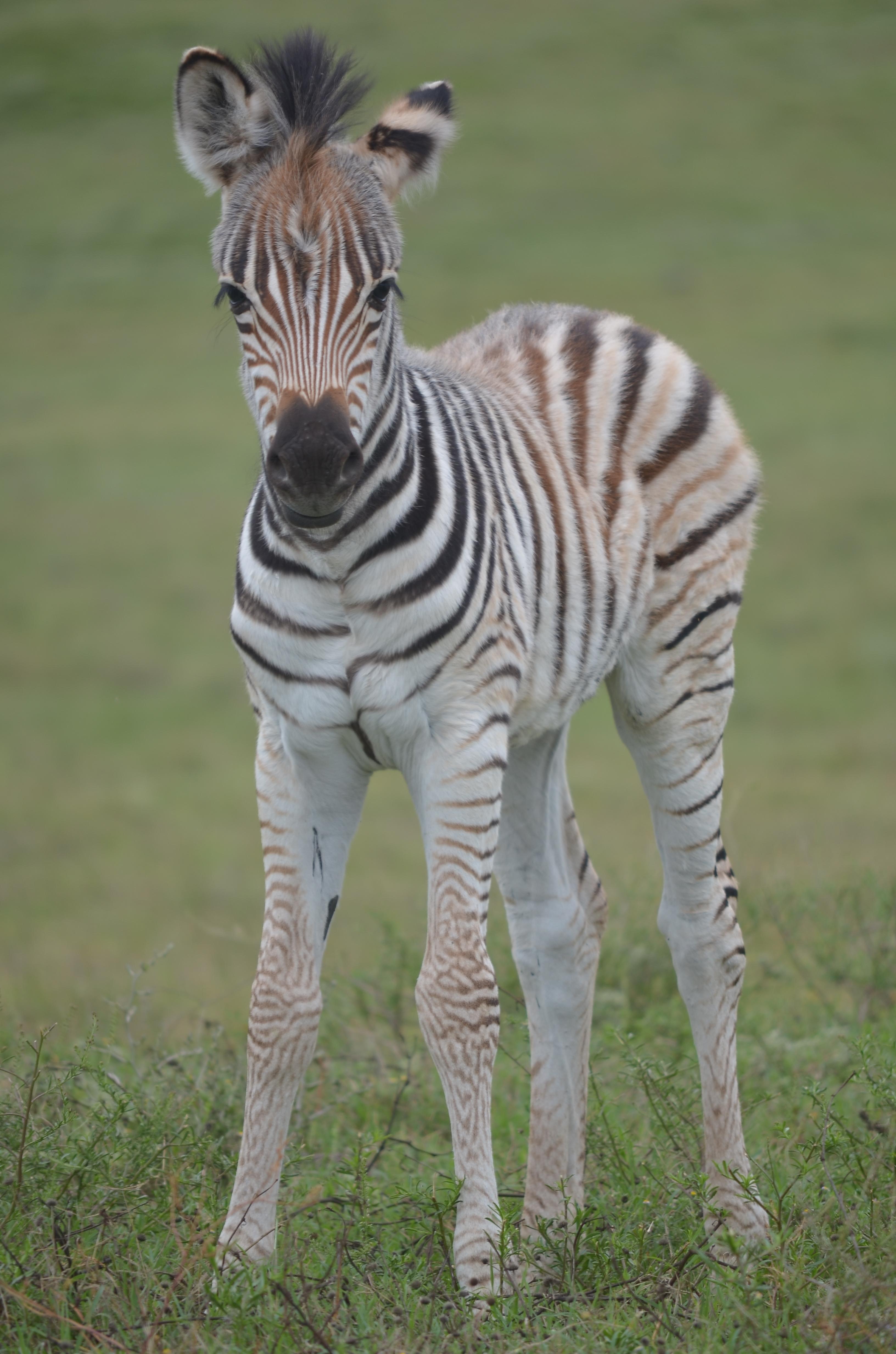 Baby Zebras In Africa Baby Zebras In Africa