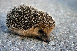 Hedgehog by dementedme