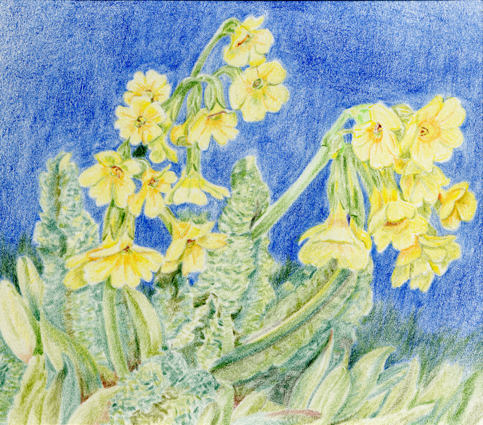 Primula by tempelziege