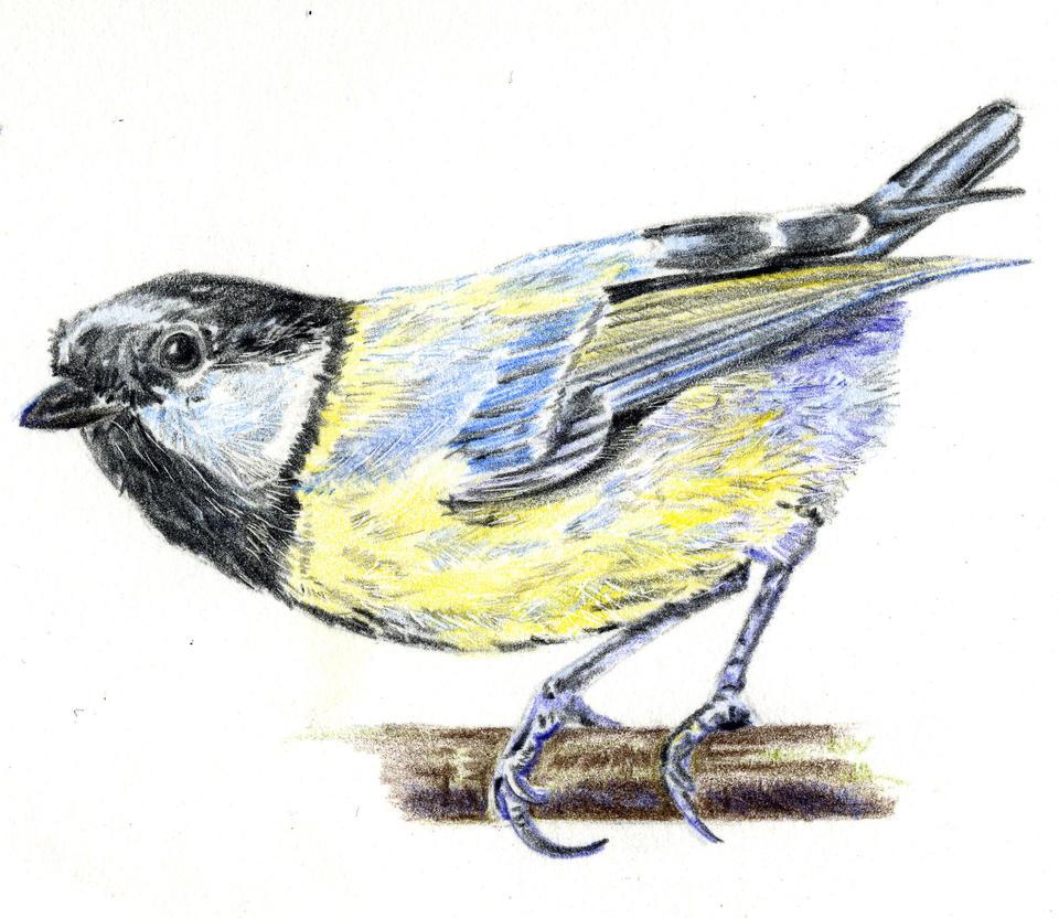 Bird, Meise by tempelziege