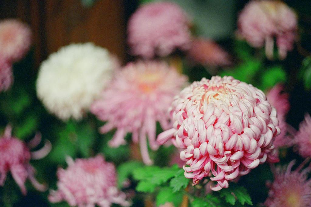 Lan Su: Pink II