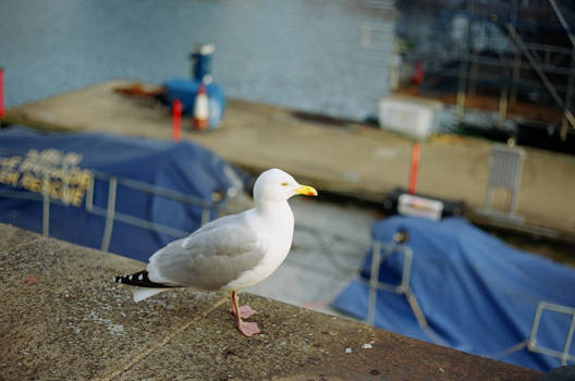 Grand Canal Dock: Seagull-Looking Fellow