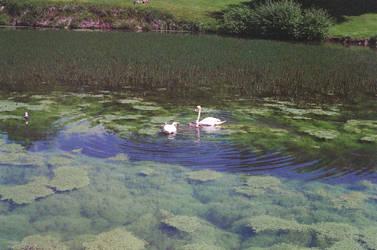 Prior Park Landscape Garden: Swans by neuroplasticcreative