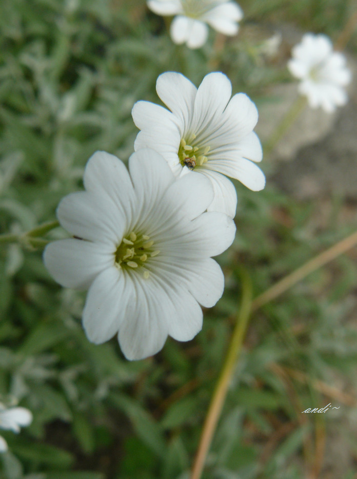 small white flower by andi40