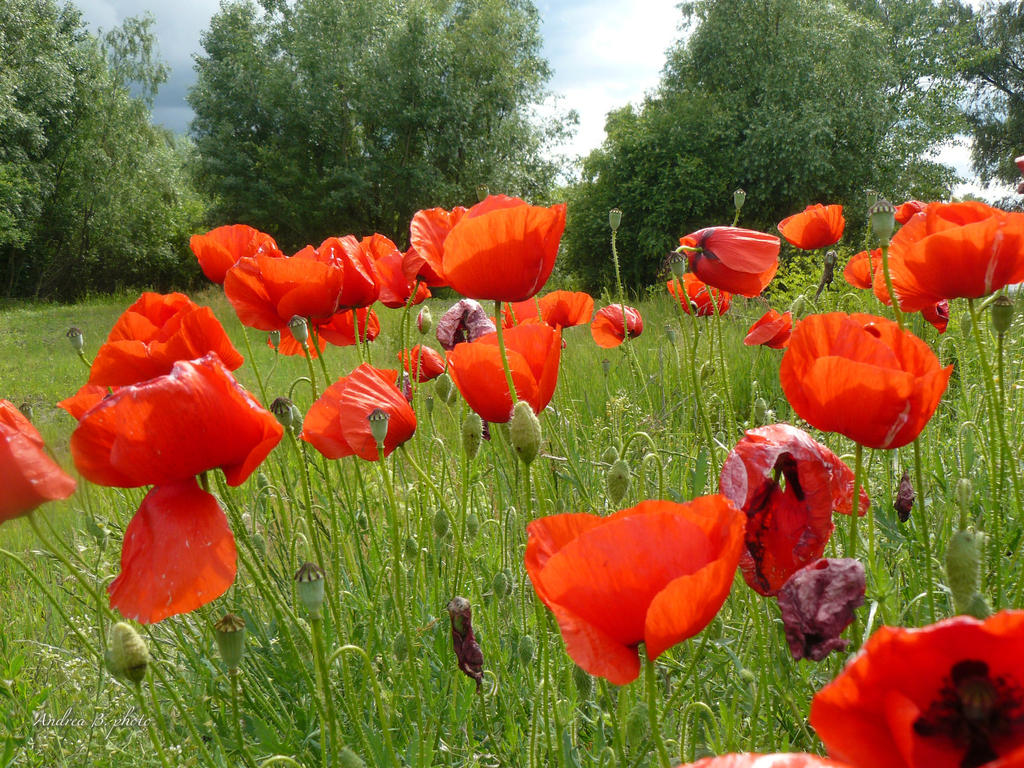poppies in the wind - photo #15