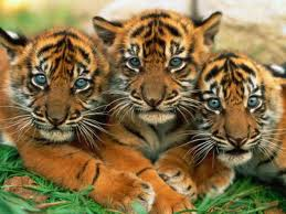 3 Tiger Cubs by Princess-Rosaline