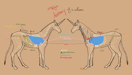 Unicorn anatomy situs + lungs