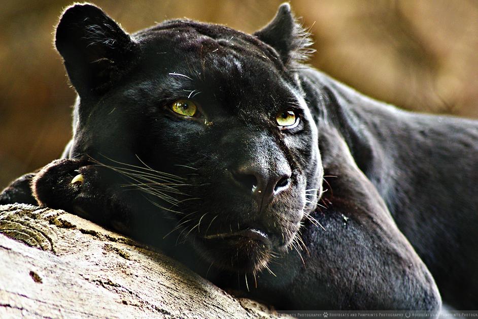 Black Panther By Portela On Deviantart: Black Panther By HoofbeatsnPawprints On DeviantArt