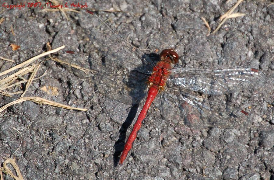 Dragonfly by mottymotty