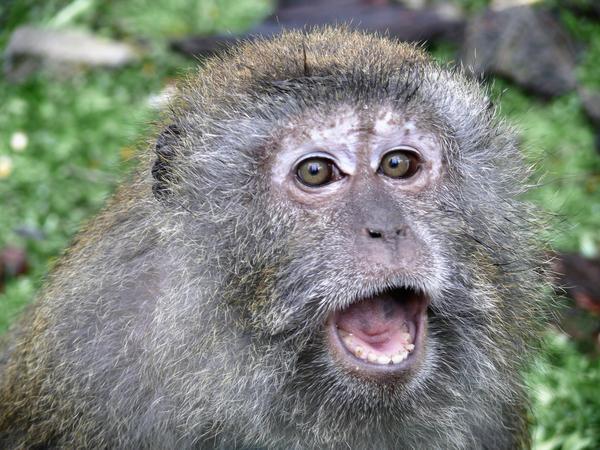 Monkey_yowl by AdiAringhe
