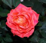 Rose by Elli090