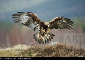 Golden Eagle Landing by ArtLifeImages