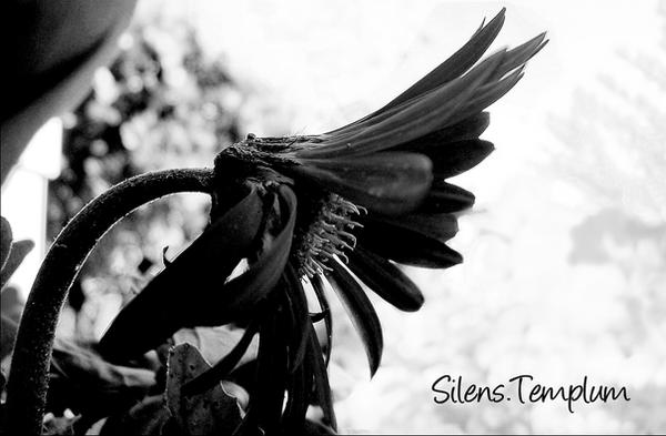 SilensTemplum's Profile Picture