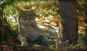Africa Wild cat