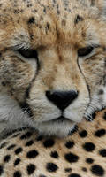 Upclose cheetah
