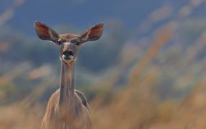 Female Kudu by NagWolf