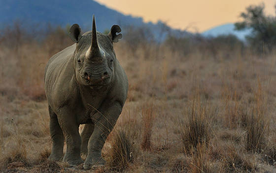Black Rhino by NagWolf