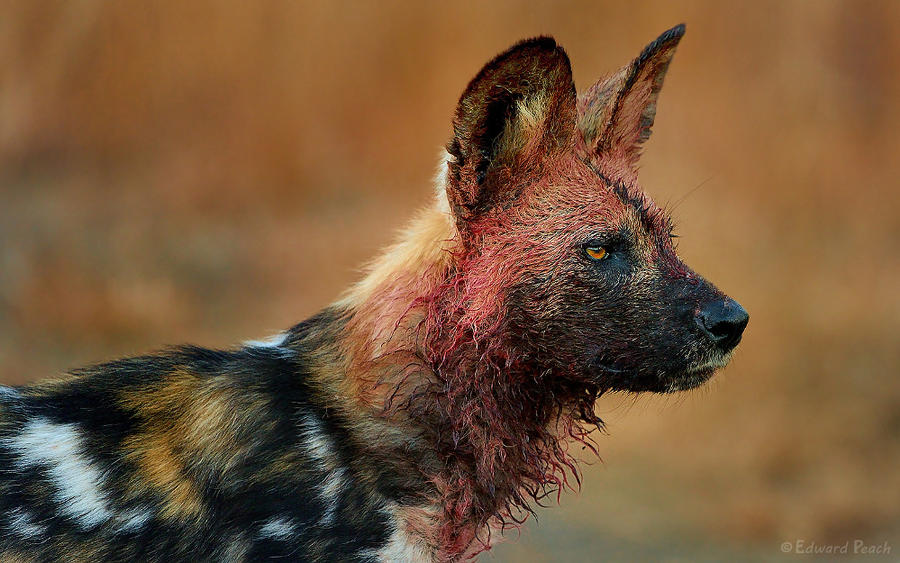 Bloody WildDog by NagWolf