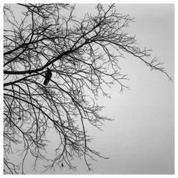 blackbird by Alsimair