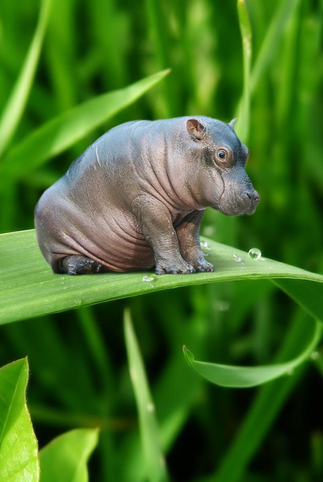 Mini Hippo by bruno-sousa