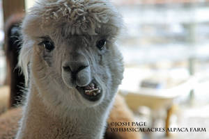 Alpaca - Funny Chewing by JoshPage