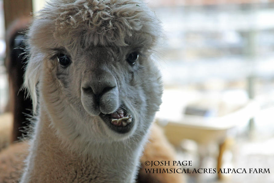 alpaca   funny chewing by joshpage on deviantart