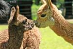 Baby Alpaca Kisses