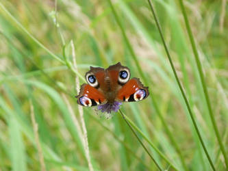 Red peacock butterfly