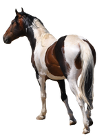 Free Use Pre-Cut Horse Stock #1 by purpleswimmergirl2