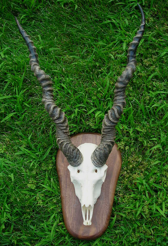 Blackbuck antelope skull - photo#1