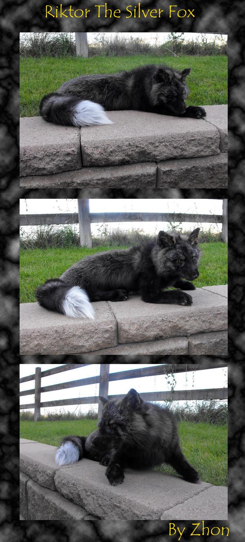 Riktor- The Silver Fox by Zhon