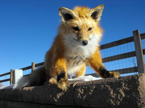 Little Red Fox - Melayna