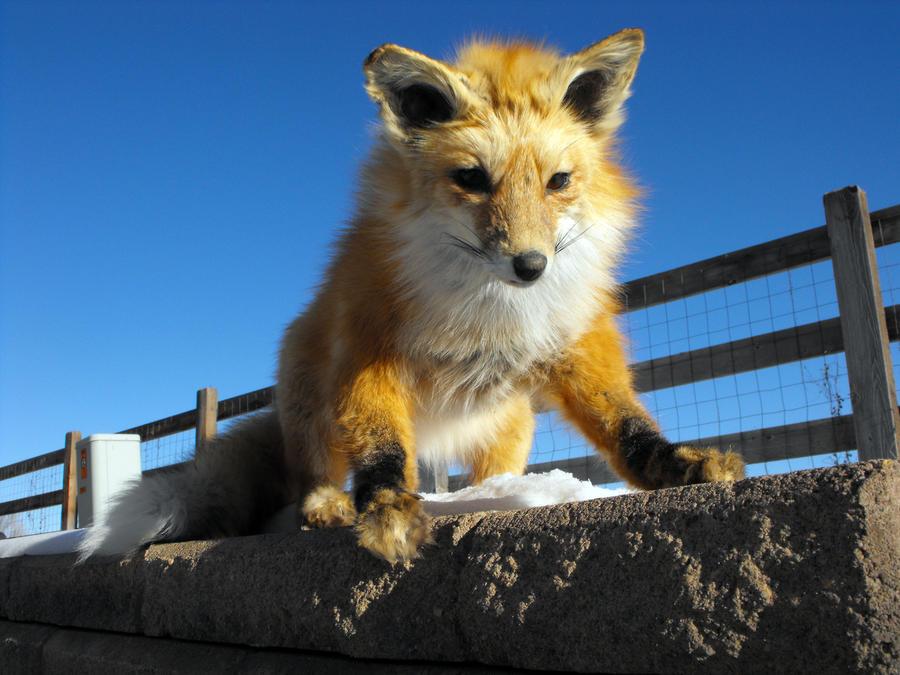 cute red fox wallpaper